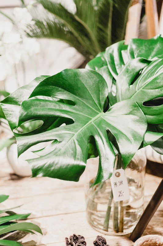Monstera plant with two leaves